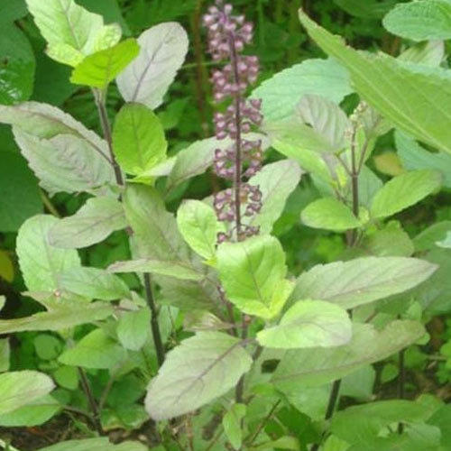 """"""" Tulsi pujan diwas why tulsi is reverable - by best Astrologer and Vastu consultant in Pune, India"""""""